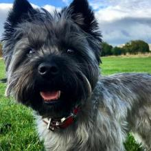 Cairn Terrier Dog Breed Info