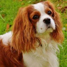 Cavalier King Charles Spaniel Dog Breed Info