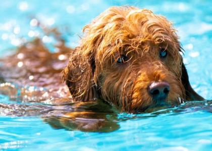 dry drowning dangers in pets